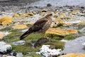 Free Falcon In Ushuaia Stock Photography - 20711932