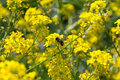 Free The Bee, The Yellow Flowers Are Pollinated Stock Images - 20713274