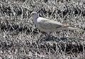 Free Dove Royalty Free Stock Image - 20713476