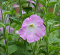 Free Convolvulus Bindweed Flower Royalty Free Stock Photography - 20716097