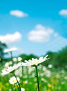 Free Camomile On Foreground Royalty Free Stock Photo - 20718185