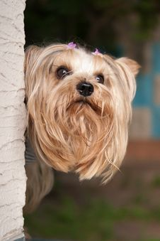 Free Yorkshire Terrier Portrait Stock Images - 20711334