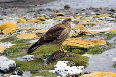 Falcon In Ushuaia Stock Photography