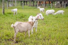 Free Goat Farm Royalty Free Stock Images - 20712069