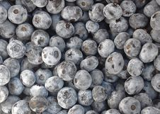 Free Freshly Picked Blueberries Stock Photography - 20712622