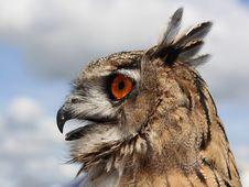 European Eagle Owl (Bubo Bubo) Stock Images