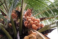 Free Coconut Royalty Free Stock Image - 20713436