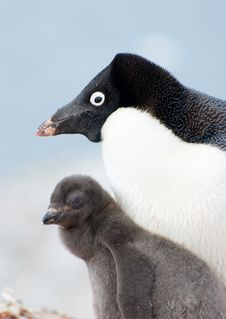 Free Penguin Family Stock Images - 20714144
