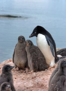 Free Penguins Royalty Free Stock Image - 20714206