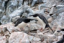 Free Penguins Royalty Free Stock Photo - 20714225