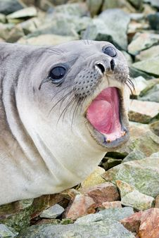 Free Southern Elephant Seal Stock Image - 20714251