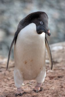 Free Penguin In Antarctica Stock Image - 20714301