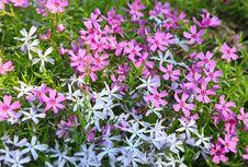 Moss Phlox - Phlox Subulata Royalty Free Stock Images