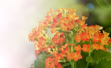 Free Red-orange Kalanchoe Background Royalty Free Stock Photo - 20714985