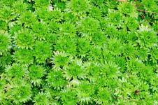Free Background From Decorative Saxifraga Green Leaves Stock Images - 20715434