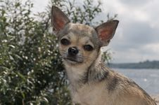 Free Chihuahua At The Beach Stock Photography - 20715772