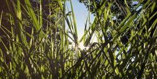 Free Tiger Grass Stock Images - 20716164
