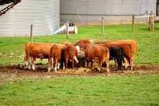 Free Cows At Feeding Time Royalty Free Stock Photos - 20716438