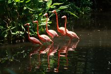 Bird Flamingo Royalty Free Stock Images