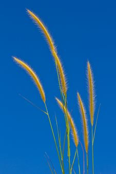Grass Flower On Blue Sky Royalty Free Stock Photos