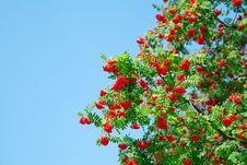 Free Rowan Berries Stock Photography - 20718162
