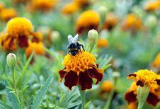 Free Bumble-bee Sun Bathing Stock Photography - 20718592