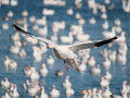 Free Flying  Snow Goose Royalty Free Stock Image - 20721506
