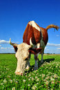 Free Cow On A Summer Pasture Stock Image - 20721621