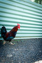 Free Chicken Royalty Free Stock Photos - 20722038