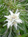 Free Edelweiss Stock Photography - 20727742