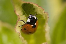 Free Ladybird Royalty Free Stock Images - 20720169