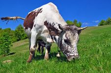 Free Cow On A Summer Pasture Stock Photography - 20721052