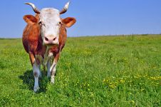 Free Cow On A Summer Pasture Stock Photography - 20721062