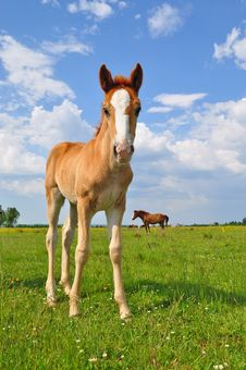Free Foal On A Summer Pasture Stock Image - 20721081