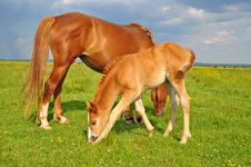 Free Foal With A Mare On A Summer Pasture Royalty Free Stock Images - 20721109