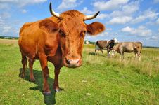 Free Cow On A Summer Pasture Stock Photography - 20721242