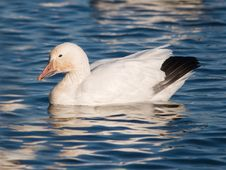 Free Snow Goose Resting Stock Image - 20721521