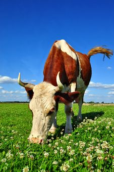 Cow On A Summer Pasture Stock Image