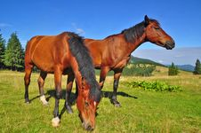 Free Horses On A Summer Mountain Pasture Royalty Free Stock Images - 20721699