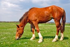 Free Horse On A Summer Pasture Royalty Free Stock Images - 20721739