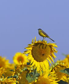 Free Yellow Wagtail On A Sunflower Royalty Free Stock Image - 20723116