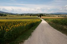Free Road On The Sunflowers Royalty Free Stock Images - 20723349