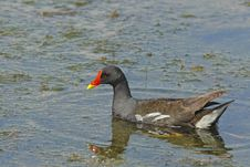 Free Common Moorhen (Gallinula Chloropus) Stock Image - 20723411
