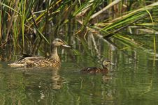 Free Mallard Mother Whit Young Stock Photo - 20723440