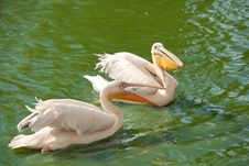 Pink Pelicans Wading In A Pond Royalty Free Stock Image