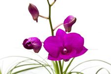 Free A Bunch Of Violet Dendrobium Orchid Royalty Free Stock Image - 20725566