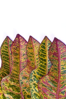 Free Colorful Croton Leaf Stock Photography - 20726392