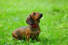 Free Dachshund On Grass Stock Image - 20726421