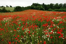 Free Field Of Poppies Poppy Flowers Stock Image - 20727021