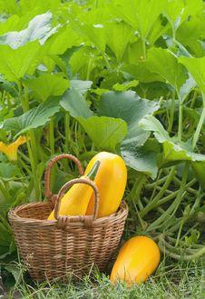 Free Zucchini Stock Photo - 20727240